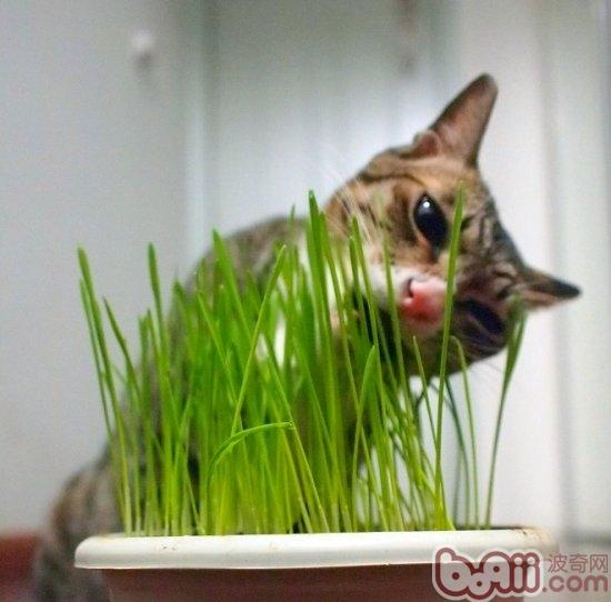 教你种植猫草的三个办法-成猫饲养