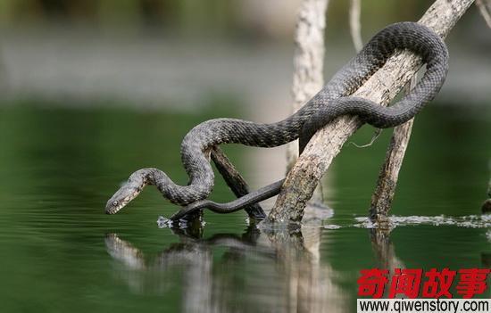 """""""食鱼者""""棋斑水游蛇:凶猛的外表温柔的心"""